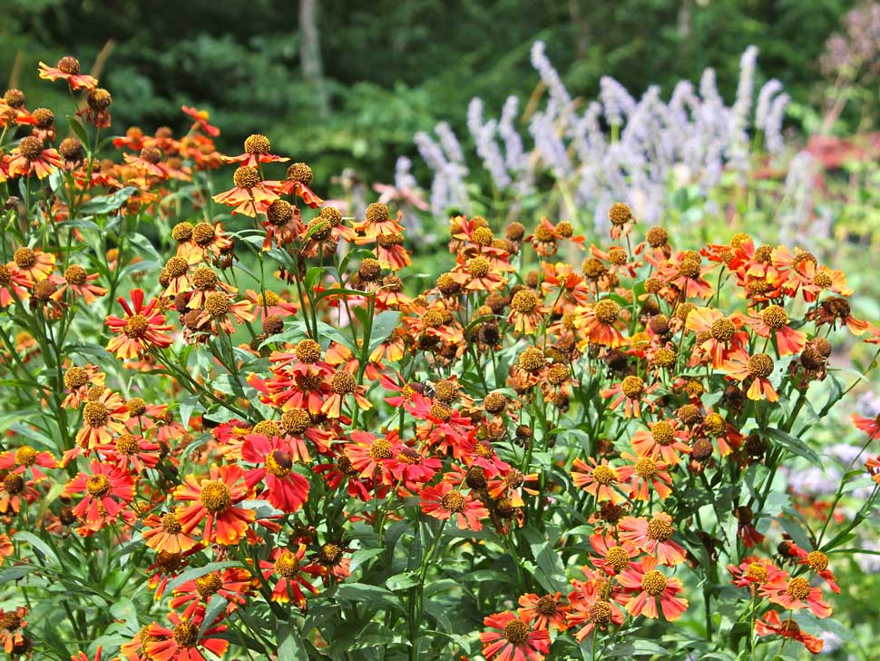 Sneezeweed-is-a-Butterfly-Magnet.-2