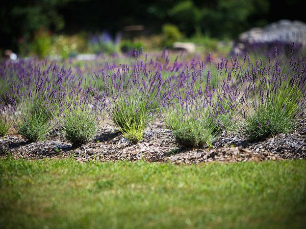 lavender_post1