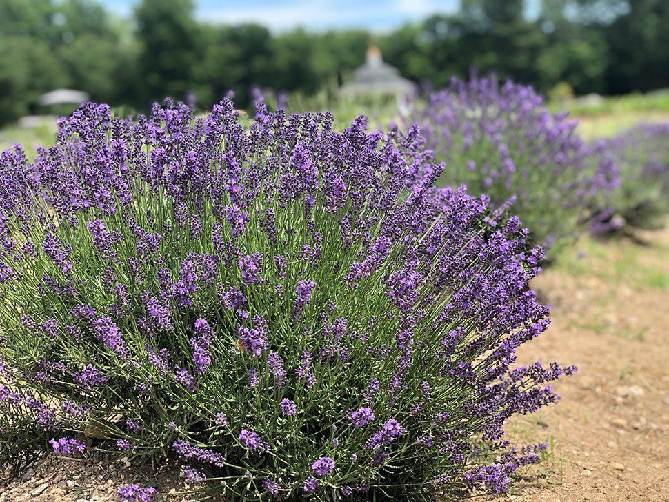 lavender pond farm